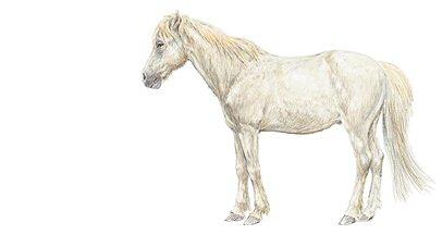 Les races de chevaux de poneys et d 39 nes - Chevaux dessins ...