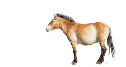 dessin cheval mongol